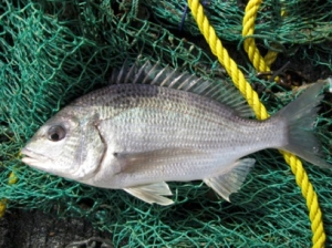 Black bream. Photo: Joel Williams